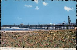 Pismo Beach Flowering Iceplant Postcard