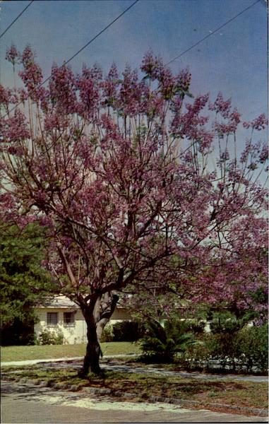 Jacaranda Tree Scenic Florida Flowers