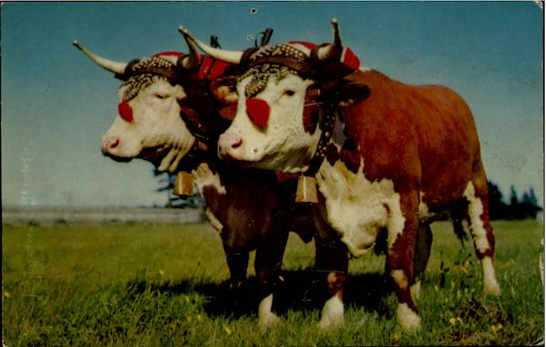 Prize Yoke Of Oxen Halifax Canada Cows & Cattle