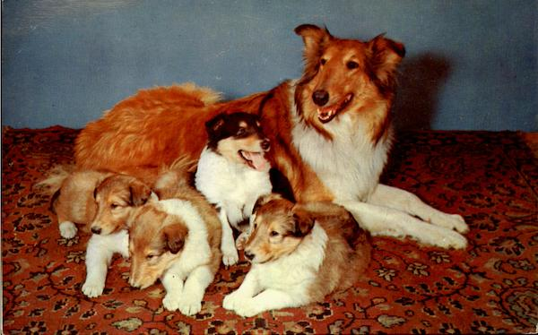 Collie And Pups Dogs