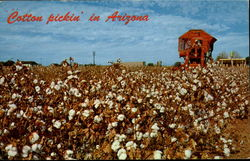Cotton Pickin In Arizona
