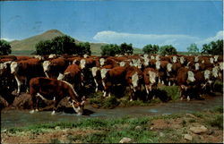 Whiteface Cattle Postcard