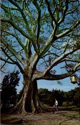 The Famous Kapok Tree