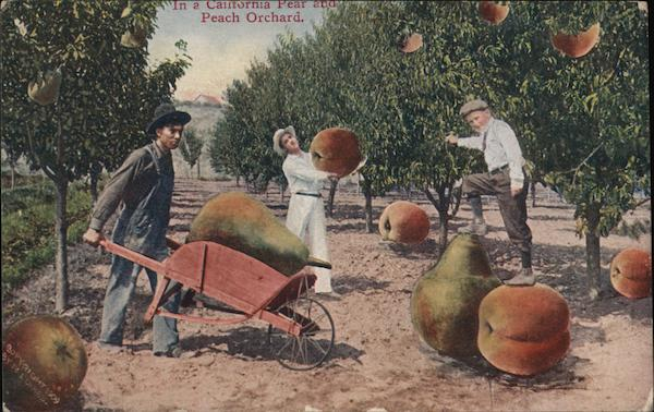 Working in a Giant Pear and Peach Orchard, California