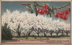 A San Leandro Cherry Orchard in Bloom Postcard