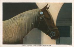 Antez - Golden Chestnut Arabian Stallion Postcard