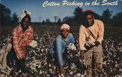 Cotton Picking in the South Postcard