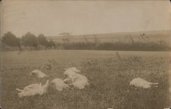Sheep Napping Postcard