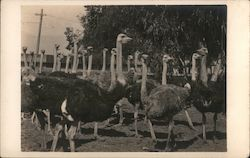 Flock of Ostriches Postcard