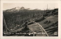 White Mt and trees Kiled by Lanssans Volcanic Blast Postcard
