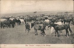 "The ""Rangler"" Bringing in the Horses Postcard"