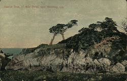 Ostrich Tree, 17 Mile Drive Postcard