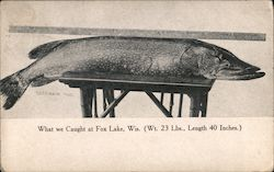 What we caught at Fox Lake, Wis (Wt. 23 Lbs., Length 40 inches) Postcard