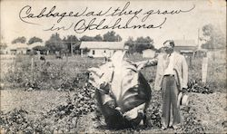 Exaggerated Giant Cabbage, Cabbages they grow in Oklahoma Postcard