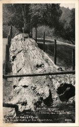 Queen of the Forest - Live Oak Growing from Petrified Tree, Petrified Forest Park Postcard
