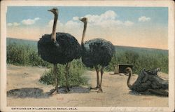 Ostriches on Miller Bros. 101 Ranch Postcard
