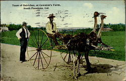 Team Of Ostriches At Cawston's Farm