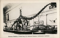 Dinosaur Skeleton, 70 Feet Long, Smithsonian Institution