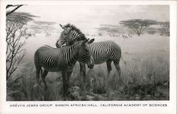Grevy's Zebra Group - Simson African Hall, California Academy of Sciences
