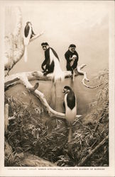 Colobus Monkey Group, Simson African Hall, California Academy of Sciences Postcard