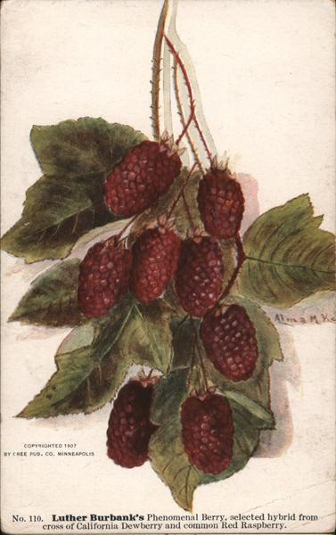 Luther Burbank's Phenomenal Berry California