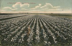 A Field of Cala Lillies Postcard