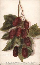 Luther Burbank's Phenomenal Berry Postcard