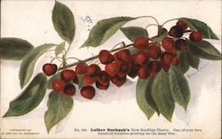 Luther Burbank's New Seedling Cherry. Postcard