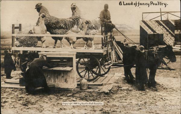 A Load of Fancy Poultry - Giant Chickens Exaggeration