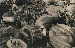 Giant Watermelon's in Harvest Postcard