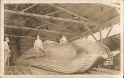 Finback Whale Captured July 16th, 1930