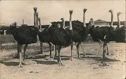 Ostriches in a pen Postcard