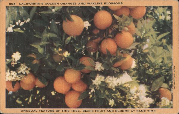 California's Golden Oranges and waxlike blossoms