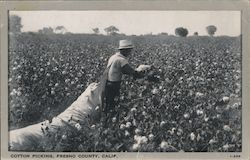 Cotton Picking, Fresno County, California