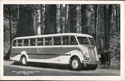 Gray Line Bus and Big Trees, Muir Woods Postcard
