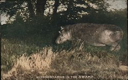 Hippopotamus in the swamp/Photo of hippopotamus