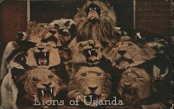 Lions of Uganda/ photo of 8 dead lions