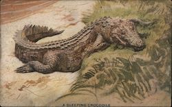 A Sleeping Crocodile