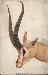 Grant's Gazelle - Picture of gazelle