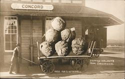 Shipping Walnuts From Concord, Cal.