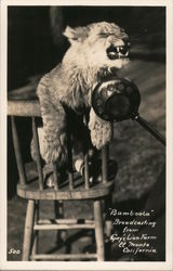 """Bamboola"" Broadcasting From Gay's Lion Farm Postcard"