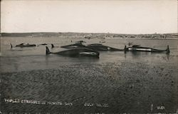 Whales Stranded in Mounts Bay July 1st, 1911 Postcard