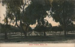 Peach Orchard Postcard