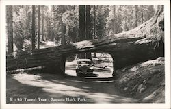 Tunnel Tree - Sequoia Nat'l Park Postcard