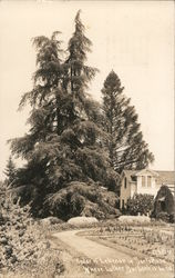 Cedar of Lebenon where Luther Burbank is buried. Postcard