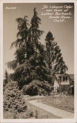 The Lebanon Cedar and Home of Luther Burbank Postcard