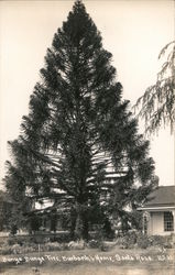 Bunya Bunya Tree, Burbank's Home Postcard
