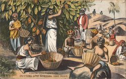 Cocoa Cultivation: cutting and sorting the pods Postcard