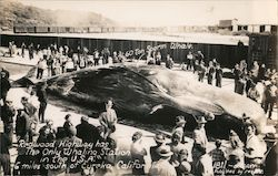 60 ton sperm whale on Redwood Highway Postcard