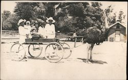 Women in Cart Pulled by Bird - Ostrich Farm Postcard